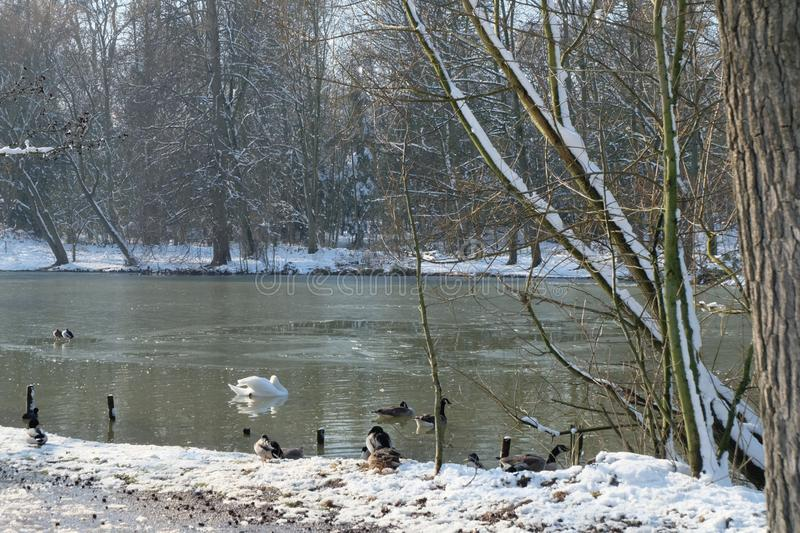 Winter landscapes - Geese near lakeside - Bois de Boulogne near Paris, France stock photography
