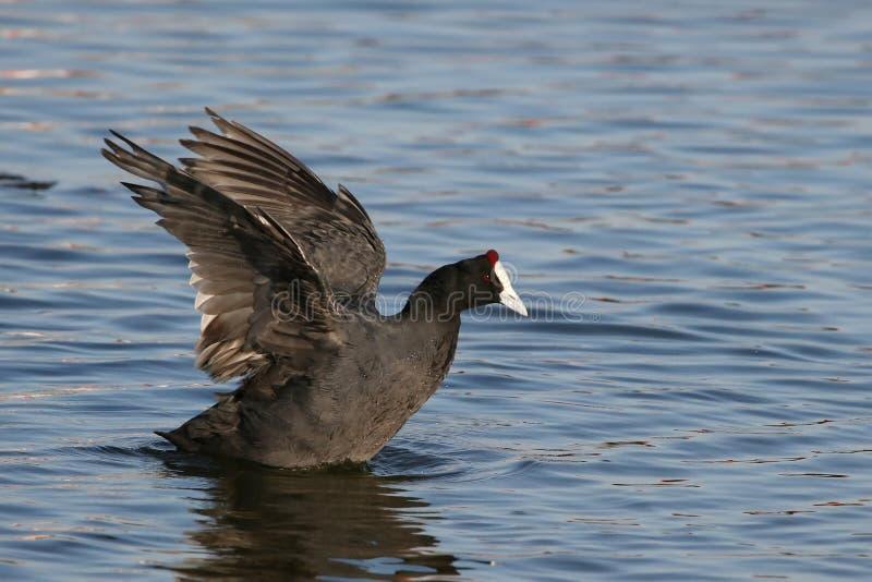 Oiseaux aquatiques de tourte photos libres de droits