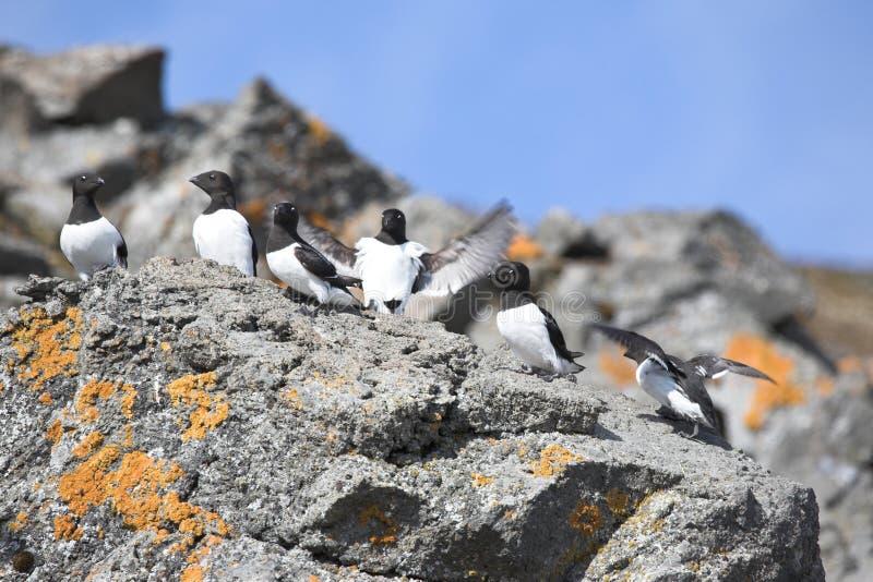 Oiseaux arctiques (petit auk) images libres de droits