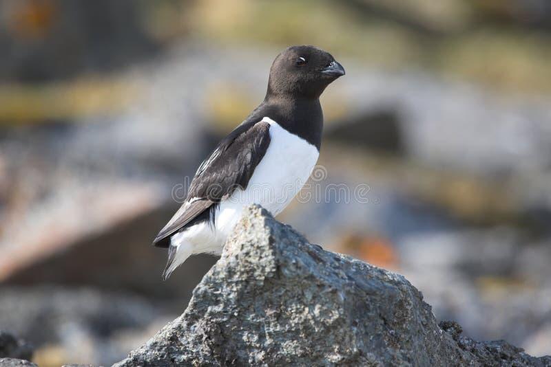Oiseaux arctiques (petit auk) photo stock