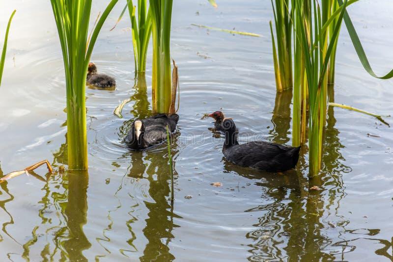 Oiseaux avec la couvée sur le lac de ville image libre de droits
