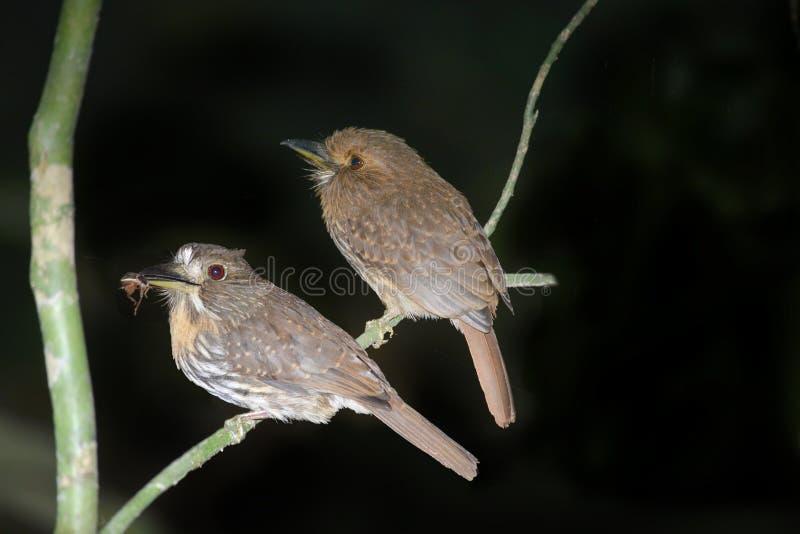 Oiseaux blancs-wiskered de souffle images libres de droits