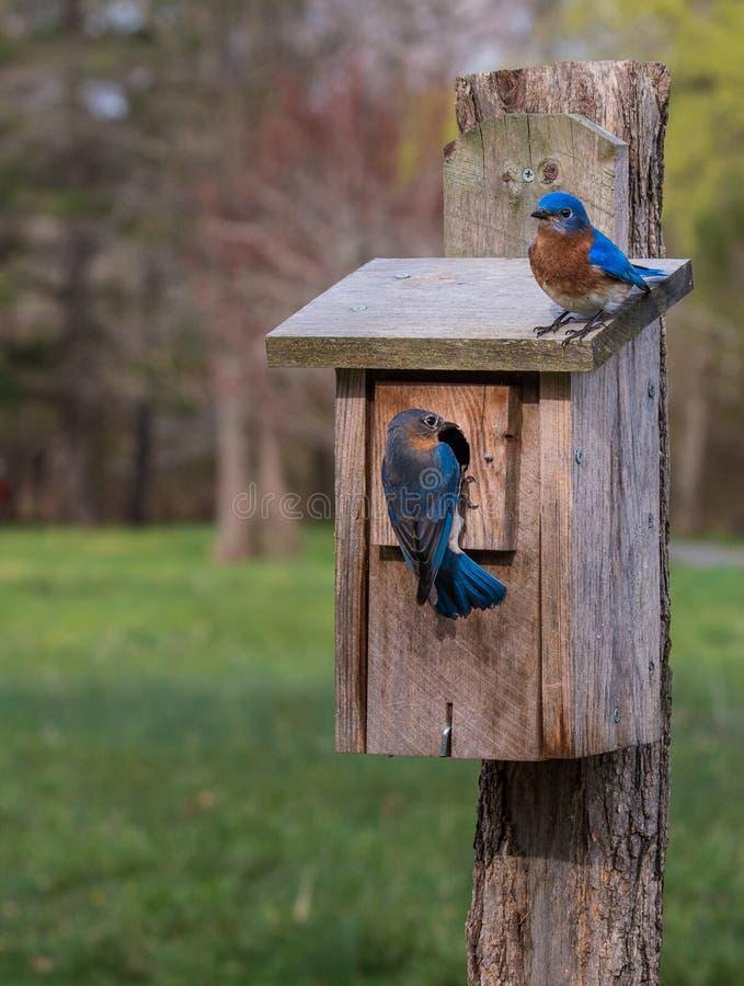 Oiseaux bleus à leur volière photo libre de droits