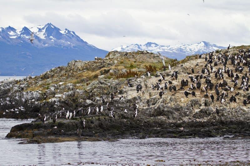 Oiseaux - colonie de Cormorant photo stock