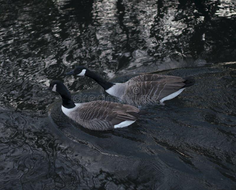 Oiseaux d'étang de parc de valentines photographie stock