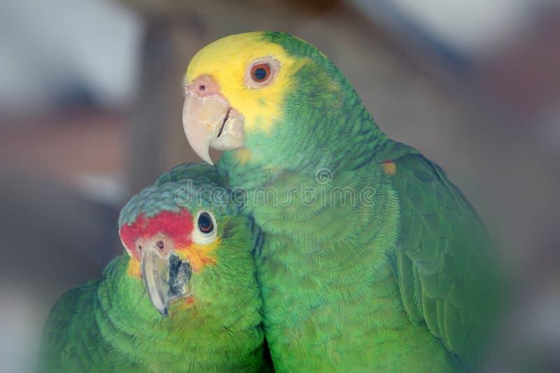 Oiseaux d'amour de perroquet photos libres de droits