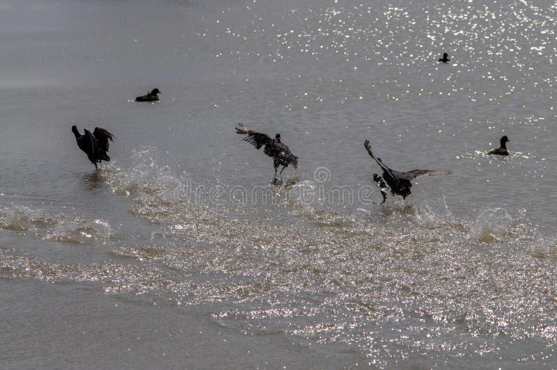 Oiseaux d'oiseaux aquatiques d'emballement et gouttes de l'eau sur le bord de la mer photo stock
