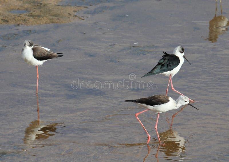 Oiseaux d'eau africains recherchant la nourriture photographie stock