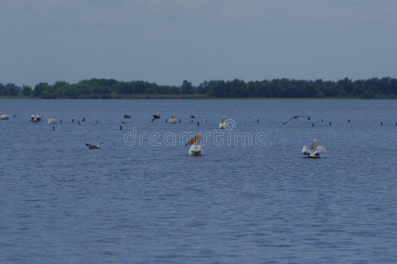 Oiseaux d'eau de Pelikan 3 photographie stock