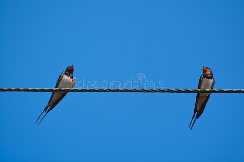 Oiseaux d'hirondelle sur le fil photo stock