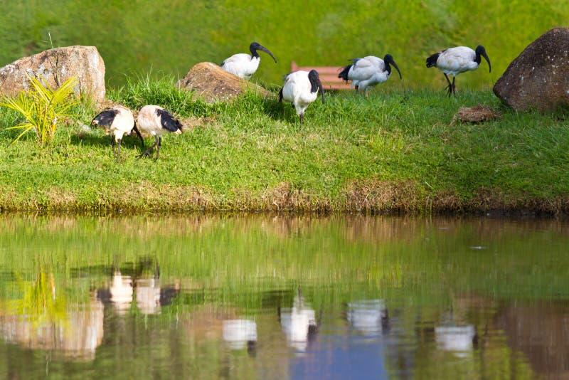 Oiseaux d'IBIS sacré photographie stock