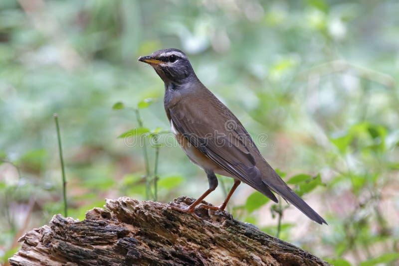 Oiseaux d'obscurus de Turdus de grive d'Eyebrowed beaux de la Thaïlande image libre de droits