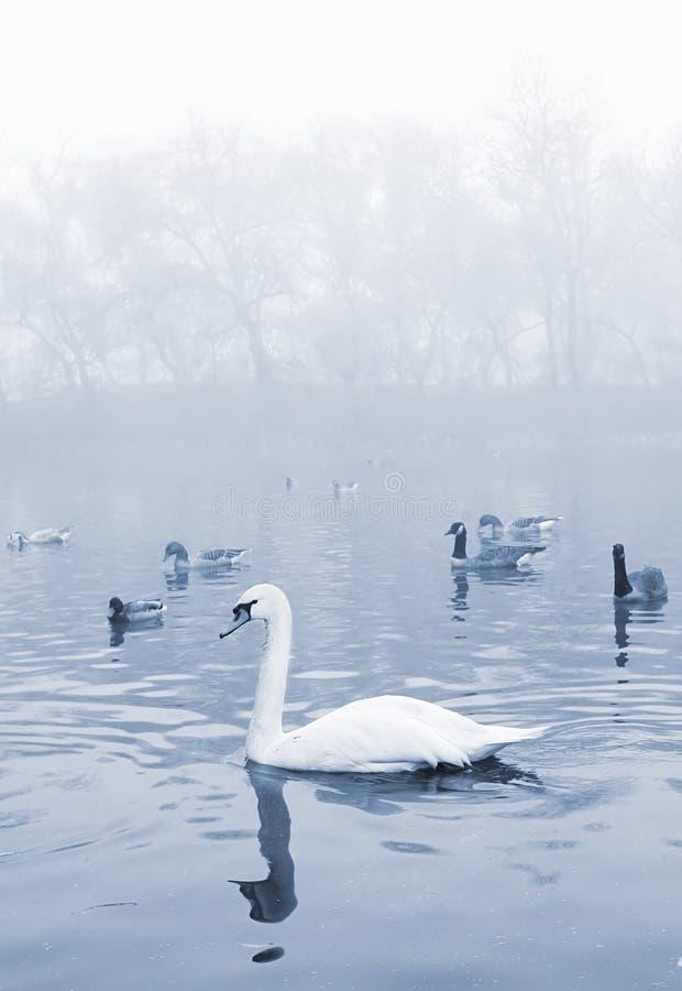 Oiseaux dans l'étang photo stock