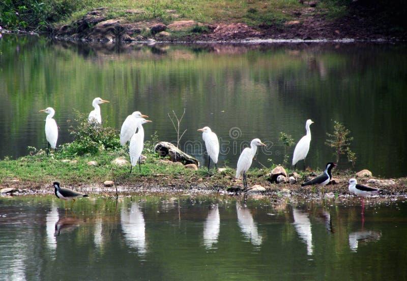Oiseaux dans l'étang ; beauté naturelle photo stock