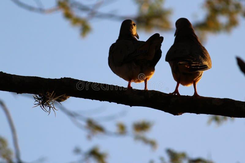 Oiseaux dans l'amour sur l'arbre photos stock