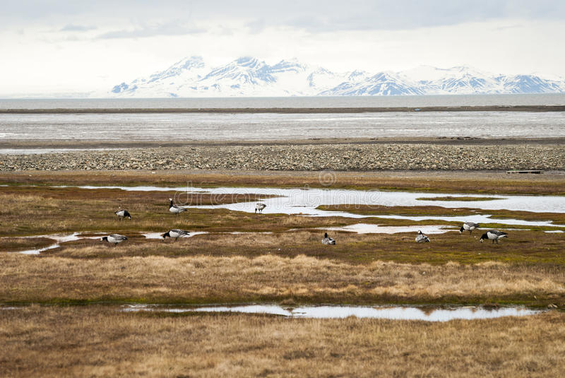 Oiseaux dans la toundra arctique, le Svalbard, Norvège image libre de droits