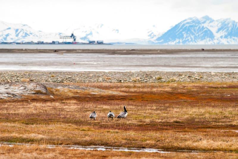 Oiseaux dans la toundra arctique, le Svalbard, Norvège image stock