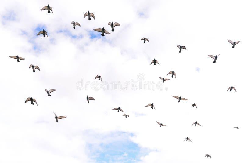 Oiseaux dans le ciel Troupeau volant des pigeons sur le fond des nuages Beaucoup d'oiseaux volent dans une direction Concept reli images stock