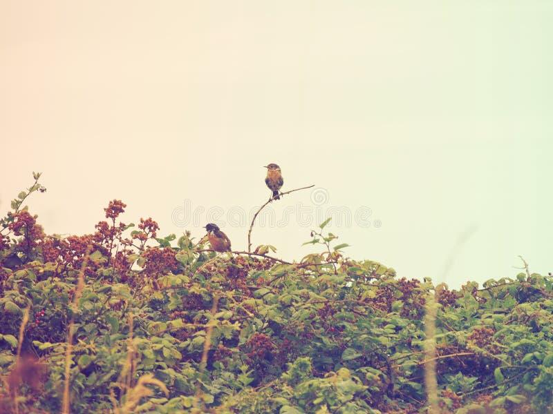 Oiseaux dans les mûres images stock