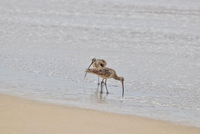 Oiseaux de bécasseau sur le rivage images stock