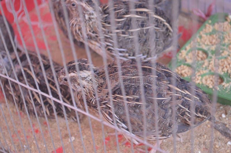 Oiseaux de cailles photos libres de droits