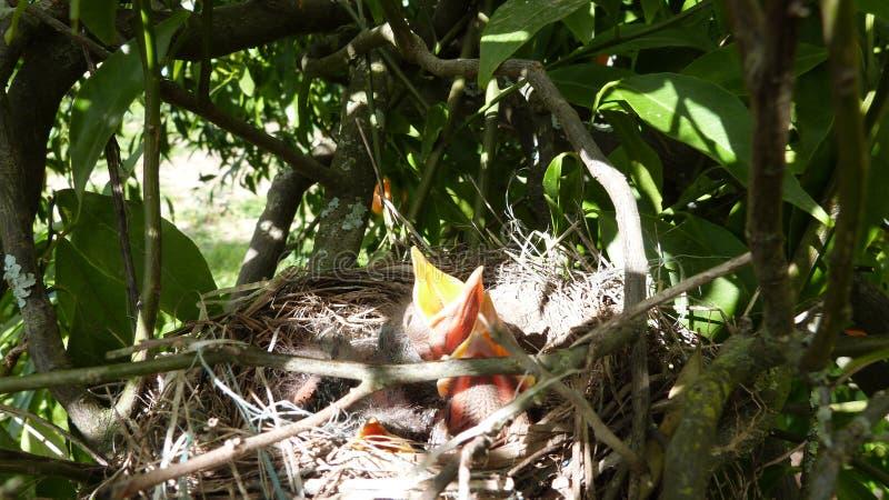 Oiseaux de chéri affamés photographie stock