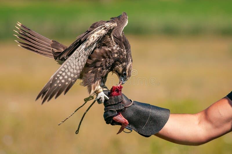 Oiseaux de chasse Chasse avec un faucon de Saker Faucon sur une main au chasseur photo libre de droits