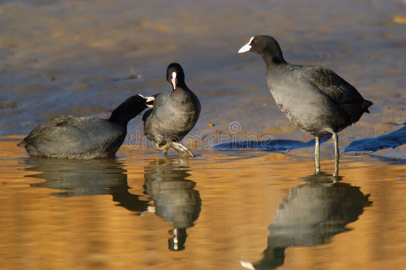 Oiseaux de combat photographie stock libre de droits