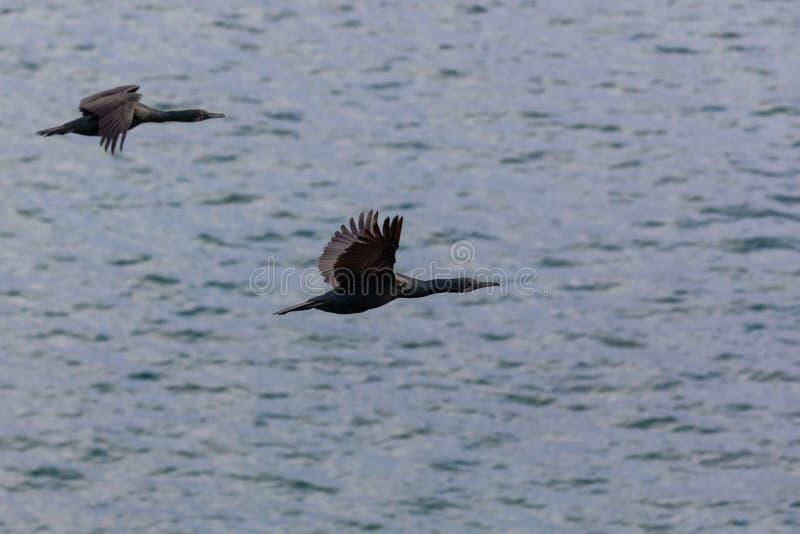 Oiseaux de Cormorant volant au-dessus de l'océan pacifique photo libre de droits