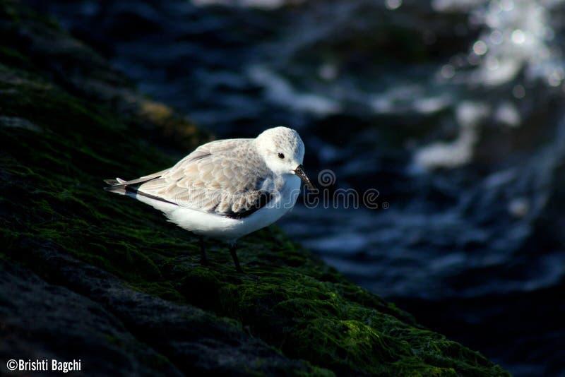 Oiseaux de corpus Christi Beach photos libres de droits