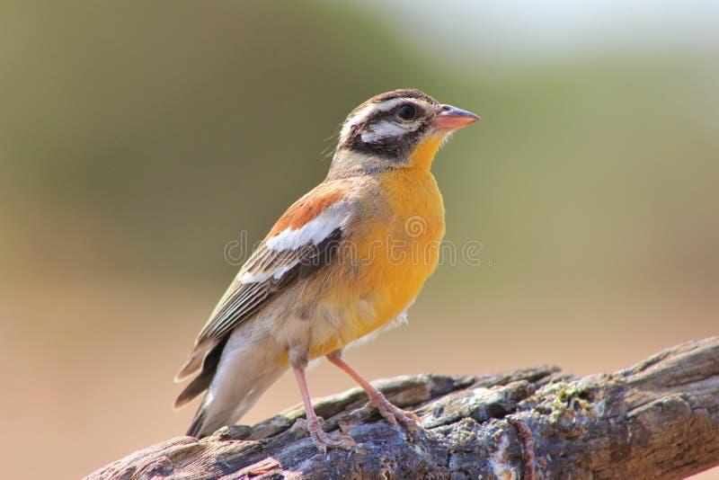 Oiseaux de couleur - étamine D'or-breasted photo libre de droits
