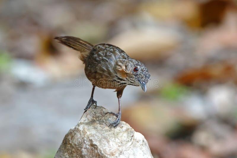 Oiseaux de crispifrons de Wren Babbler Napothera de chaux beaux de la Thaïlande photo stock