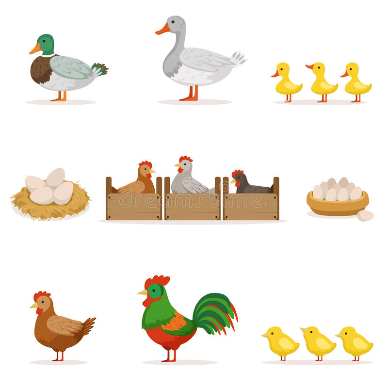 Oiseaux de ferme développés pour la viande et pour pondre des oeufs, série d'agriculture biologique des illustrations de vecteur  illustration stock