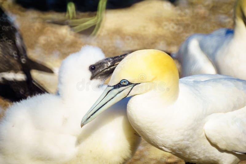 Oiseaux de fou de Bassan dans Bonaventure Island images stock