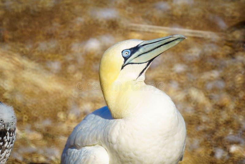 Oiseaux de fou de Bassan dans Bonaventure Island photographie stock