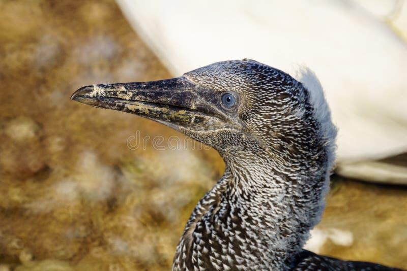 Oiseaux de fou de Bassan dans Bonaventure Island photo stock