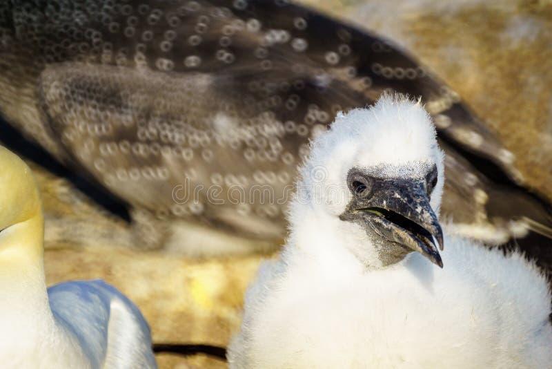 Oiseaux de fou de Bassan dans Bonaventure Island photographie stock libre de droits