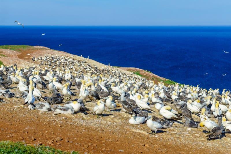 Oiseaux de fou de Bassan dans Bonaventure Island image stock