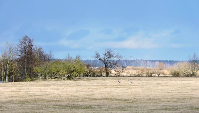 Oiseaux de grue dans le domaine et les beaux arbres, Lithuanie photographie stock