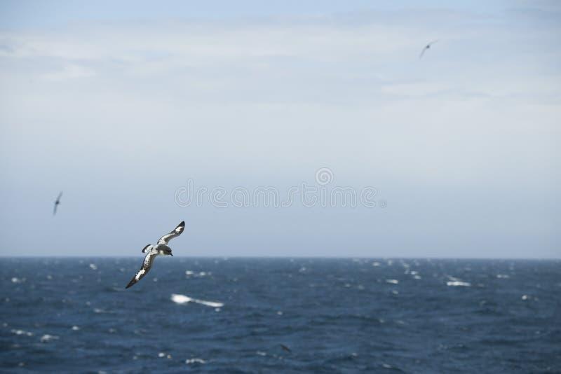 Oiseaux de l'Antarctique volant contre l'océan pour pêcher quelques poissons images libres de droits