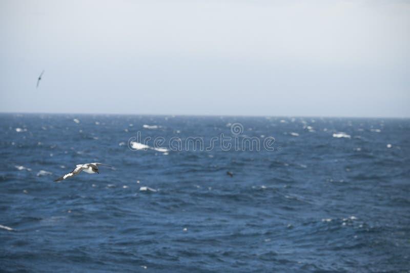 Oiseaux de l'Antarctique volant contre l'océan pour pêcher quelques poissons photographie stock