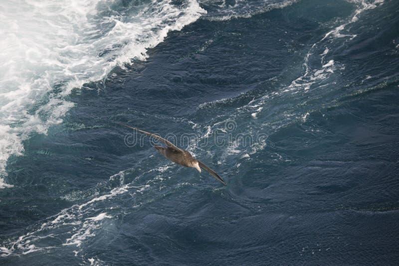 Oiseaux de l'Antarctique volant contre l'océan pour pêcher quelques poissons photos libres de droits