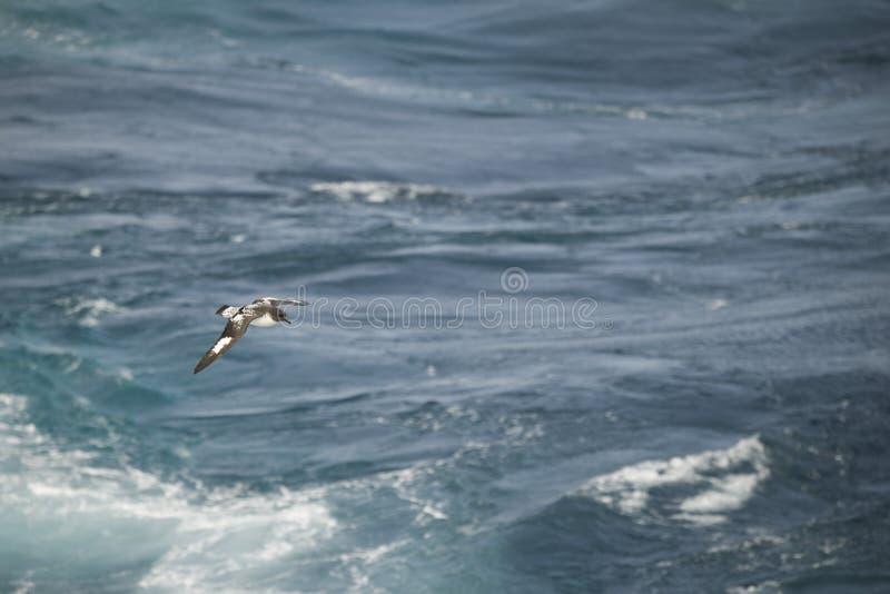 Oiseaux de l'Antarctique volant contre l'océan pour pêcher quelques poissons photos stock