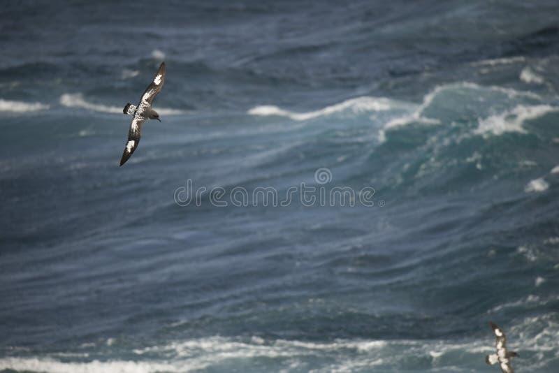 Oiseaux de l'Antarctique volant contre l'océan pour pêcher quelques poissons images stock