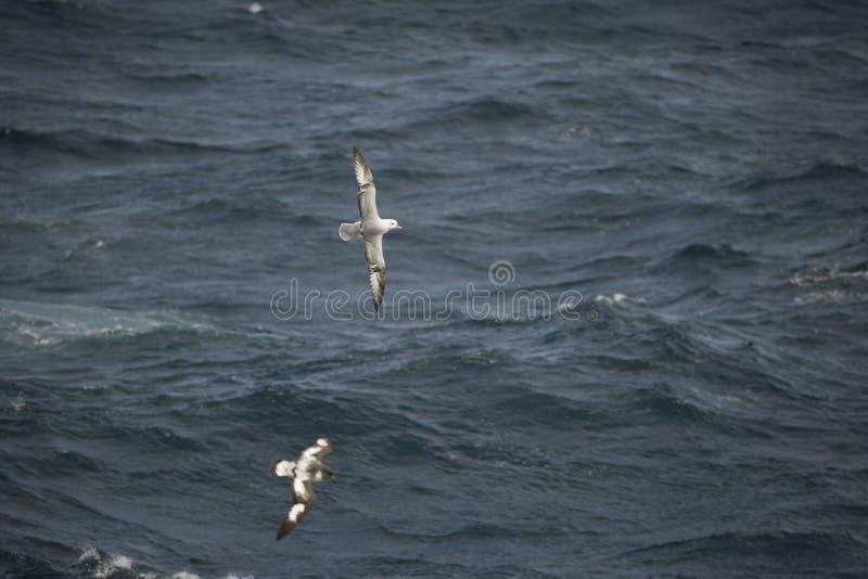 Oiseaux de l'Antarctique volant contre l'océan pour pêcher quelques poissons image libre de droits