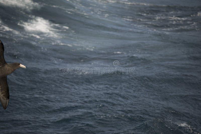 Oiseaux de l'Antarctique volant contre l'océan pour pêcher quelques poissons photographie stock libre de droits