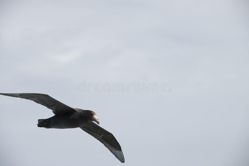 Oiseaux de l'Antarctique volant contre un ciel bleu clair photos libres de droits