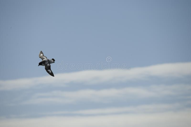 Oiseaux de l'Antarctique volant contre un ciel bleu clair photo stock