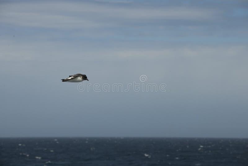Oiseaux de l'Antarctique volant contre un ciel bleu clair photographie stock