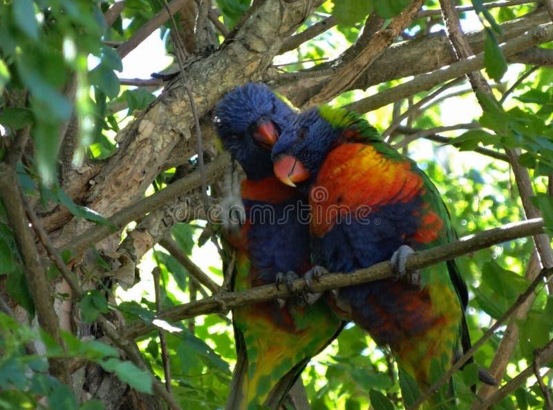 Oiseaux de Lorikeet photographie stock libre de droits